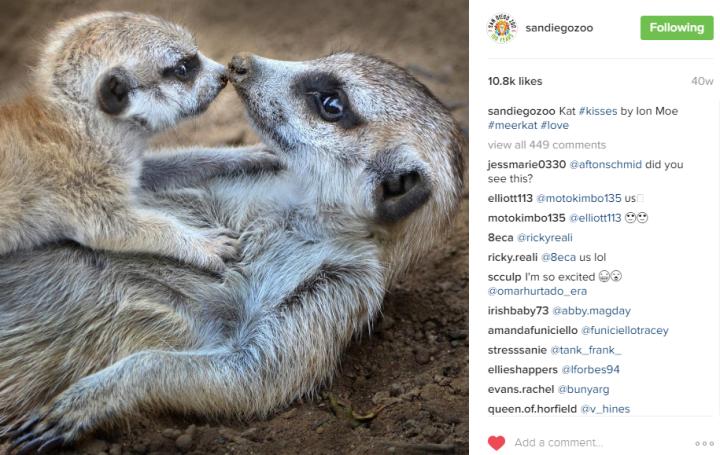 Meerkats by San Diego Zoo