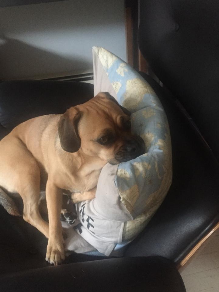 #hektorthepuggle on pillow
